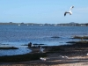 001AR-ProspectHill-pelicans-flyingsilvergulls