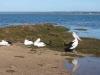 002AR-pelicans