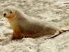 009sealion_young